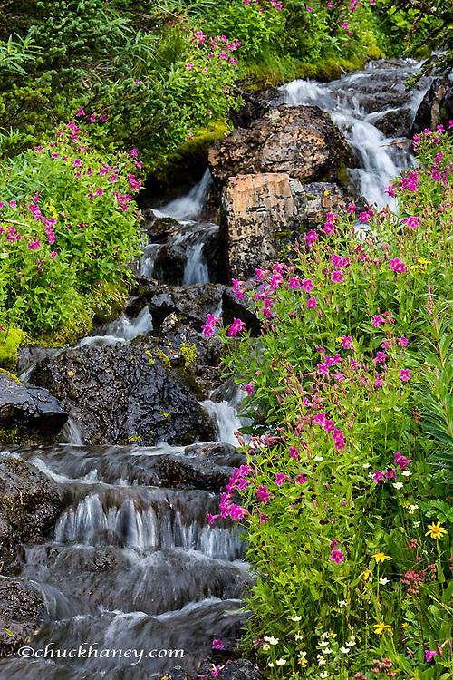 Monkeyflowers along Lunch Creek in Glacier National Park, Montana, USA