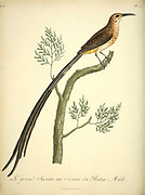 Male Le grand Sucrier , ou Sucrier du Protéa. from the Book Histoire naturelle des oiseaux d'Afrique [Natural History of birds of Africa] Volume 6, by Le Vaillant, Francois, 1753-1824; Publish in Paris by Chez J.J. Fuchs, libraire 1808