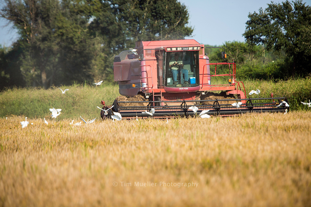 In the late summer and early fall combines are seen harvesting rice along Flyway Byway in Jefferson Davis Parish, La.