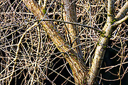 Branches of an overgrown elm tree in Snohomish County, Washington, form tight patterns as they crisscross the frame.