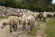 Achupallas - Monday, Dec 31 2007: Sheep walk down a track towards Achupallas. Images from the Inca Trail hike from Achupallas to Ingapirca. (Photo by Peter Horrell / http://www.peterhorrell.com)
