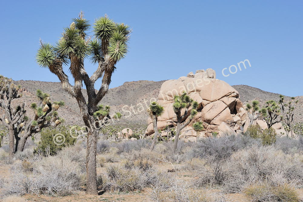 Joshua Tree National Park was first declared a National Monument in 1936. It wasnt until 1994, as a part of the California Desert Protection Act, that Congress included it as a National Park. <br /> <br /> Over 794,000 acres are protected within its boundaries. <br /> <br /> Range: Endimic to Southwestern United States    <br /> <br /> Species: Yucca brevifolia