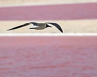 Laughing Gull (Leucophaeus atricilla). Kralendijk, Bonaire. Image taken with a Nikon D3s camera and 70-300 mm VR lens.