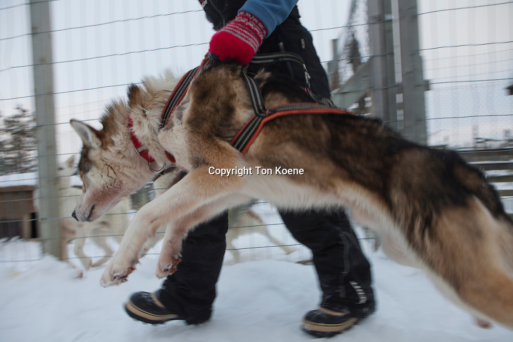 Husky dogs in Finland