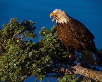 Bald Eagle, Haliaeetus leucocephalus, cries out while perched on a Sitka spruce tree branch, Kodiak, Alaska