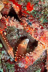 channel clinging crab, Mithrax spinosissimus, City of Washington, Elbow, Key Largo, Florida, Atlantic Ocean