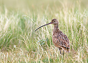 Long-billed Curlew on Montana's Rocky Mountain Front.