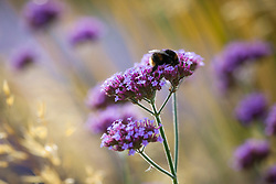 Bee on Verbena bonariensis (Argentinian vervain) with Stipa gigantea