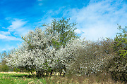 Common Hawthorn tree, Crataegus monogyna, also Whitethorn, Maythorn and Quickthorn, with springtime blossom