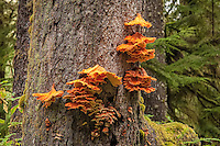 A fresh, beautiful example of these vibrant shelf mushrooms growing on a tree near La Push, Washington just into the trees on Rialto Beach.