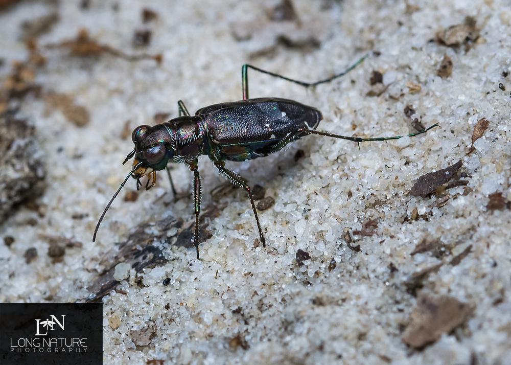 Cicindela punctulata- Punctured Tiger Beetle