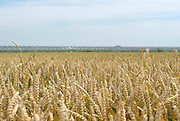 Graanveld, Zuid-Holland, Nederland - Cornfield, Netherlands