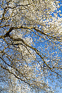 A Star Magnolia tree at in full bloom at Queen Elizabeth Park in Vancouver, British Columbia, Canada