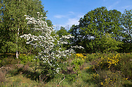 Europa, Deutschland, Nordrhein-Westfalen, Troisdorf, die Wahner Heide, bluehender Weissdorn. - <br /> <br /> Europe, Germany, Troisdorf, North Rhine-Westphalia, in the Wahner Heath, blooming whitethorn.