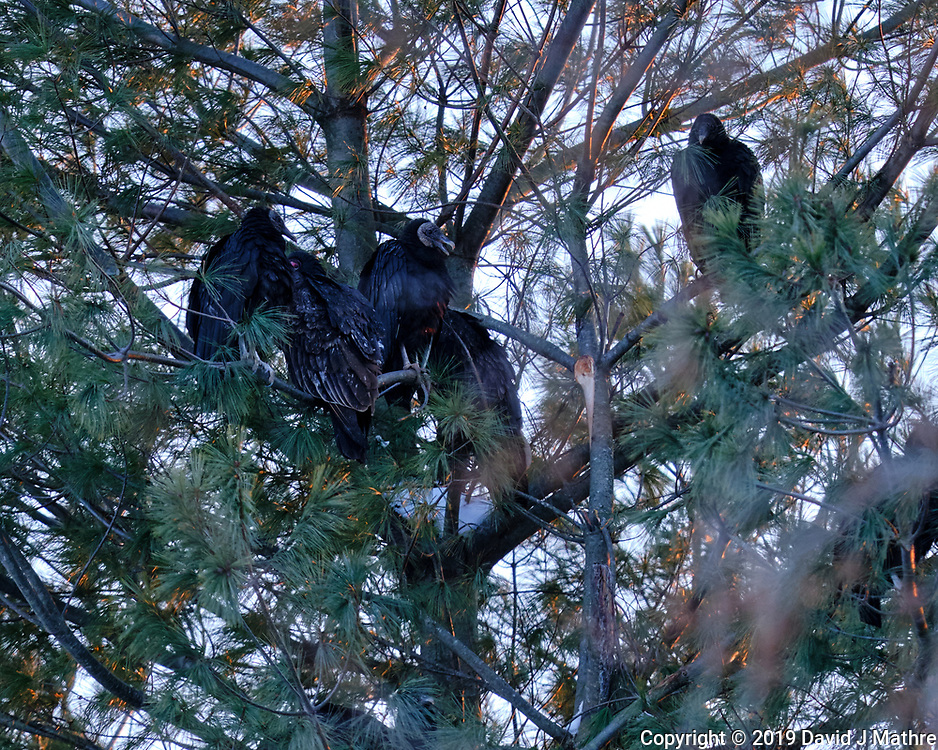 Late Afternoon Black Vultures Roosting in a Pine Tree. Image taken with a Fuji X-T3 camera and 200 mm f/2 lens