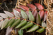 Oregon-grape (Mahonia aquifolium, Berberidaceae) is an evergreen shrub related to the barberry. The Oregon-grape is not related to true grapes, but gets its name from the purple clusters of berries whose color and slightly dusted appearance is reminiscent of grapes. Its botanic name comes from the Roman name for holly, aquifolium, meaning 'prickly leaved'. Location: Ira Spring Memorial Trail, Interstate 90, Washington, USA.