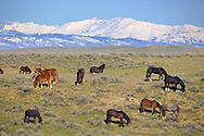 McCullough Peaks Mustang herd east of Cody Wyoming