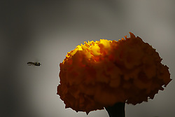 November 2, 2018 - Kathmandu, Nepal - A wasp approaches towards a flower at a garden in Kathmandu, Nepal on Friday, November 02, 2018. (Credit Image: © Skanda Gautam/ZUMA Wire)