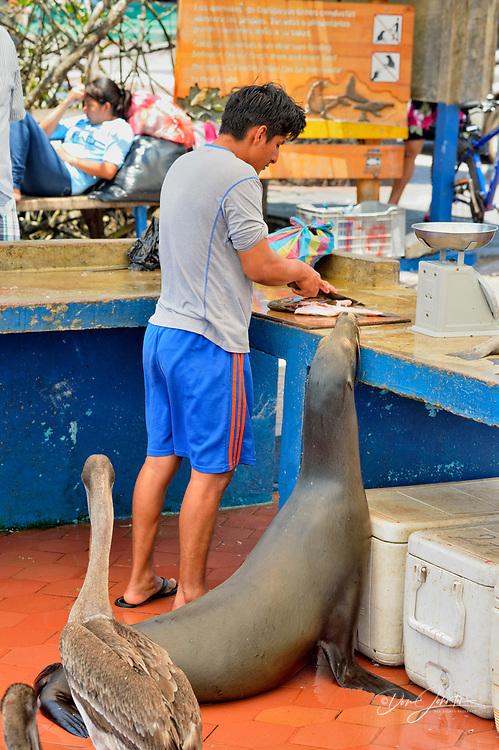 Preparing fish for sale in the fish market, with interested pelicans and sea lions, Puerto Aroya, Santa Cruz Island, Ecuador