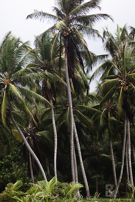 Tall and long palm trees in a verticle image in Tayrona National Park in Colombia.
