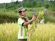 Harvesting paddy rice in the ethnic Kayan village of Lo Pu, Kayah State, Myanmar on 16th November 2016