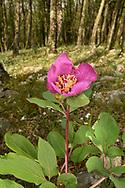 Wild Peony - Paeonia mascula