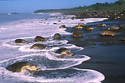 female olive ridley sea turtles, Lepidochelys olivacea, come and go from nesting beach during arribada ( mass nesting ), Ostional, Costa Rica ( Eastern Pacific Ocean )