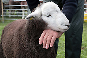Hill farmer showing his Herdwick lamb at Borrowdale Shepherds Meet in Rosthwaite village, Cumbria on 16 September 2018. Herdwick sheep are the native breed of the central and western Lake District and live on the highest of England's mountains. They are extremely hardy and are managed in the traditional way on the Lake District fells that have been their home for generations.