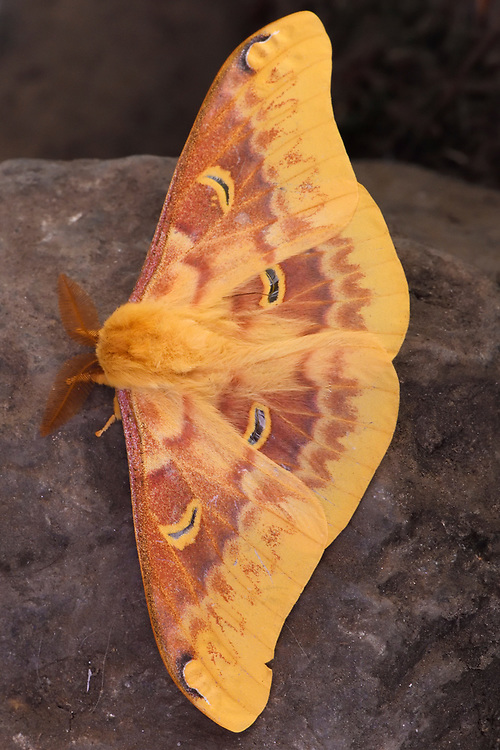 Yellow big Saturniid genera Anthorea moth on a stone in the Meili Snow Mountain National park, Yunnan, China