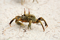 Ghost crab of Curieuse or curious island one of the seychelles island