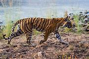 Wild Bengal tiger motion-blur, Ranthambore National Park, Rajasthan, India