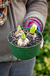 Bring pot of forced hyacinths indoors and place in a cool spot