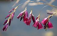 Dierama pulcherrimum 'Merlin'  a dark red Angel's Fishing Rod