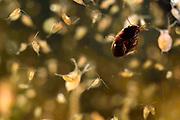 Water flea (Daphnia sp) Germany   Wasserfloh (Daphnia sp); Wasserflöhe, Daphnie, Daphnien; Selent, Deutschland