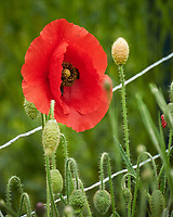 Red Poppy after the rain. Image taken with a Nikon D850 camera and 60 mm f/2.8 macro lens.