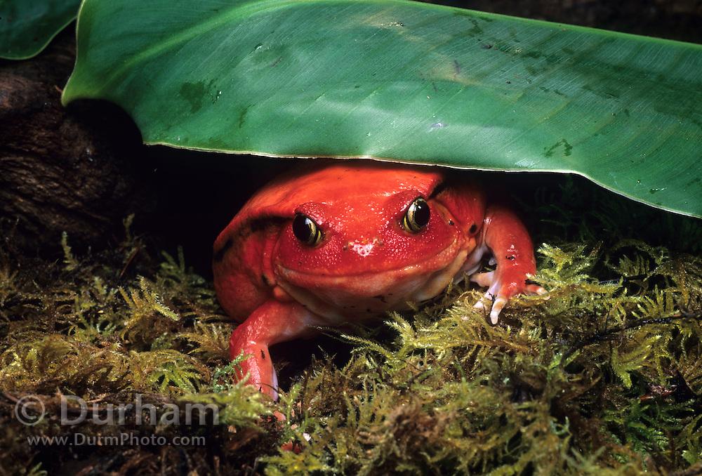 A female tomato frog (Dyscophus antongilii), a native of Madagascar.