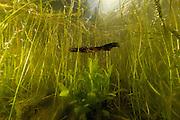 Great Crested Newt or Northern Crested Newt, male (Triturus cristatus). Lake Selent (Selenter See), Germany | Die mit bis zu 18 cm Gesamtlänge größte in Deutschland heimische Molchart, der Kammmolch (Triturus cristatus) sucht zur Paarung und zum Ablaichen bevorzugt kleinere, krautreiche Gewässer auf. Der Kammmolch ist hierzulande zugleich auch die am stärksten bedrohte Molchart, da Überdungung und Fischbesatz seinen Lebensraum zerstören.