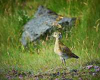 Juvenile European Golden Plover in Iceland. Image taken with a Nikon D4 camera and 80-400 mm VRII lens (ISO 360, 400 mm, f/11, 1/320 sec).