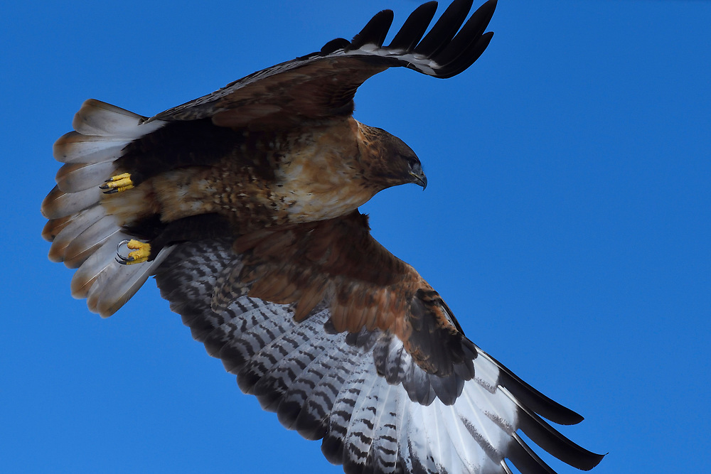 Upland buzzard (Buteo hemilasius) flying in front of blue sky at the Tibetan Plateau, Qinghai, China