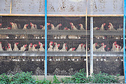 Egg farming. Hens in batteries. Photographed in Israel. The practice of battery poultry farming involves rearing chickens intensively in an enclosed space to maximize the profits. The feed can be designed to improve egg quality, and the light cycles can be adjusted to simulate spring and so increase egg laying. It is thought that this has nearly tripled the rate of egg laying, but it has also reduced a hen's life expectancy. Photographed in Israel.