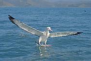 Wandering Albatross - Diomedea antipodensis