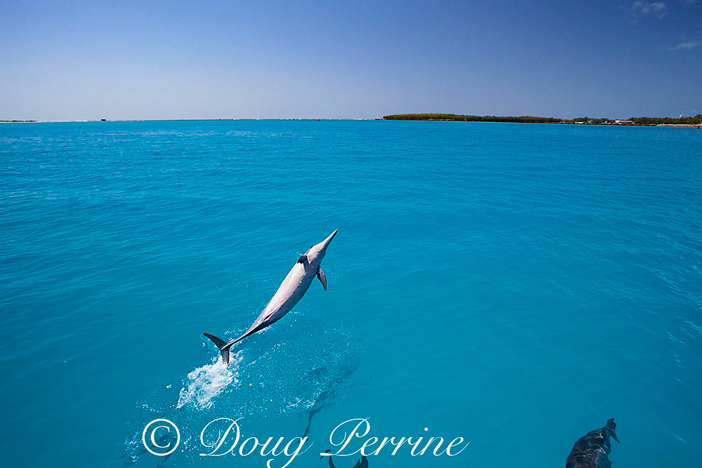 Hawaiian spinner dolphins, or nai'a, Stenella longirostris longirostris, aka Gray's or long-snouted spinner dolphin, breaching and bowriding on boat approaching Sand Island, Midway Lagoon, Midway Atoll National Wildlife Refuge, Papahanaumokuakea Marine National Monument, Northwest Hawaiian Islands, USA ( Central Pacific Ocean )