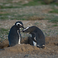Magellanic penguins preen beside their burrow at a major rookery on Magdalena Island in the Strait of Magellan, Chile.