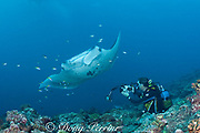 researcher Guy Stevens photographs belly spot identification pattern of reef manta ray, Manta alfredi (formerly Manta birostris ), at cleaning station on coral reef, Manta Point, Lankan, North Male Atoll, Maldives ( Indian Ocean )