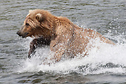 Brown (Grizzly) Bear makes a huge splash as it chases Salmon in the Brooks River (Ursus arctos horribilis) Katmai National Park, Alaska