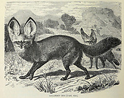 Lalande's Dog (Otocyon megalotis). The bat-eared fox. From the book ' Royal Natural History ' Volume 1 Section II Edited by  Richard Lydekker, Published in London by Frederick Warne & Co in 1893-1894
