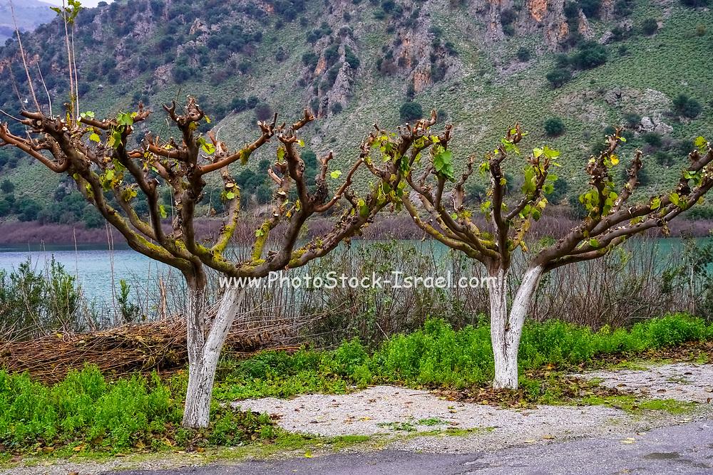 plantation on Crete Island, Greece