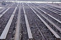Brawley, Calfironia, Holstein feed lot.