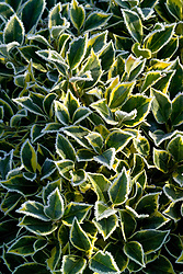 Ilex aquifolium 'Wateriana' syn. I. a. 'Waterer's Gold' rimed with frost. Holly