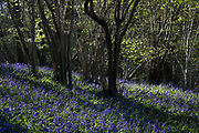 Bluebells bloom in early morning sunlight in Sulham Woods on 23rd April 2021 in Sulham, United Kingdom. The UK is home to over half of the world's population of bluebells, split between the native English or British bluebell Hyacinthoides non-scripta, as seen in Sulham Woods, which is protected under the Wildlife and Countryside Act 1981, and the fast spreading Spanish bluebell Hyacinthoides hispanica.